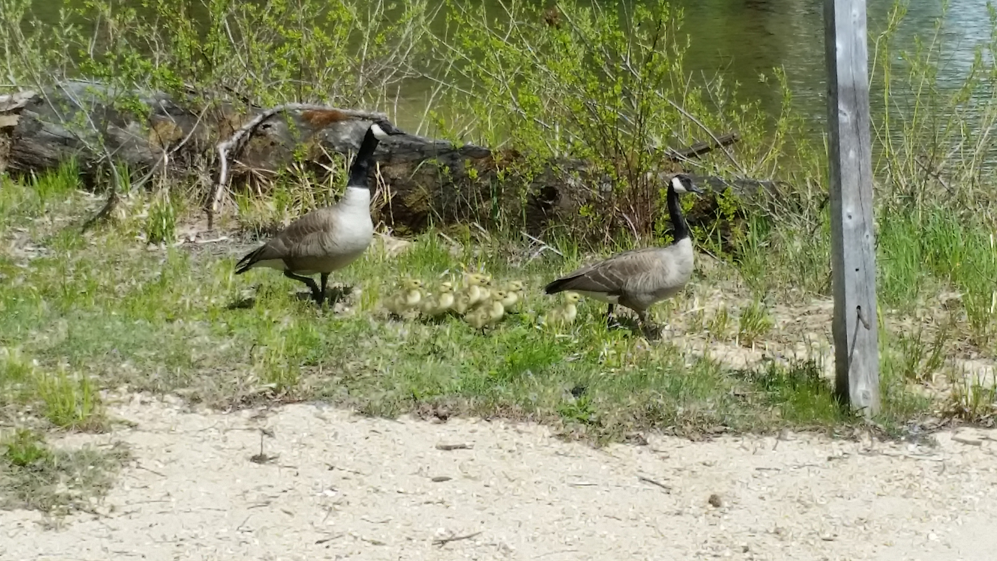 Canada Geese - Early May